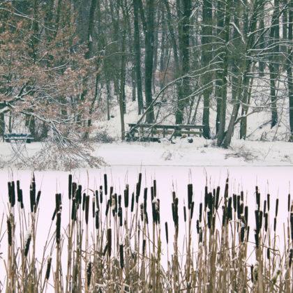 schilf-winter