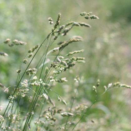 Gräser Wiese