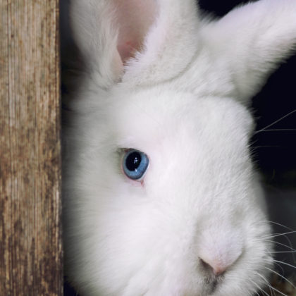 kaninchen-weiss