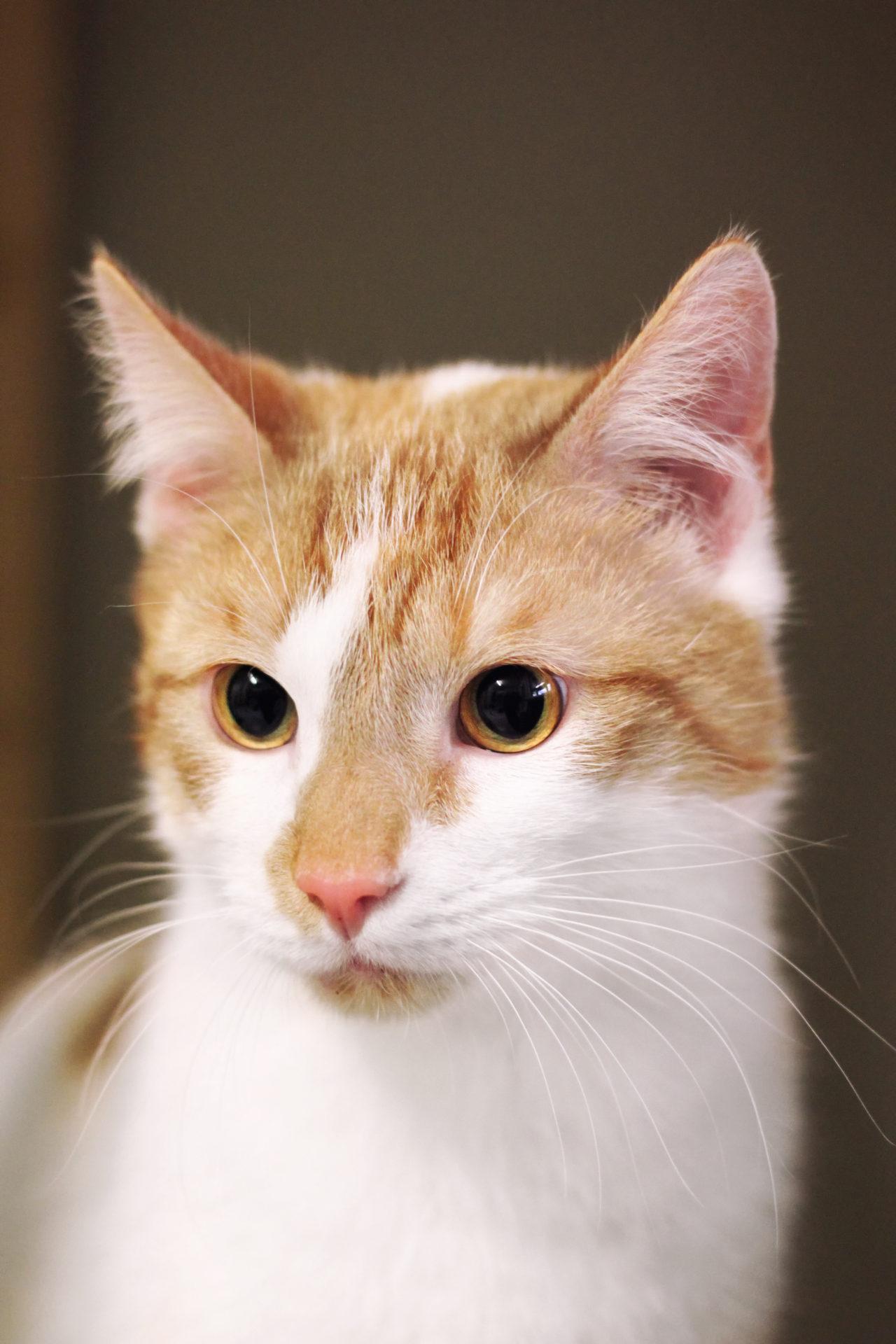 Cat White Orange - free images download | titania foto
