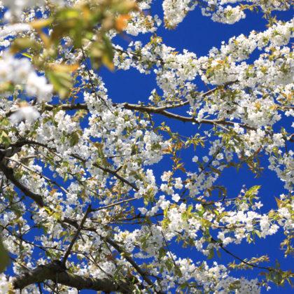 kirschblueten-kirschbaum