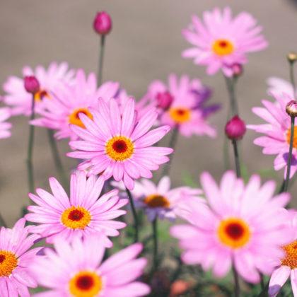 margeriten-blueten-rosa