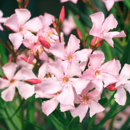 oleander-blueten