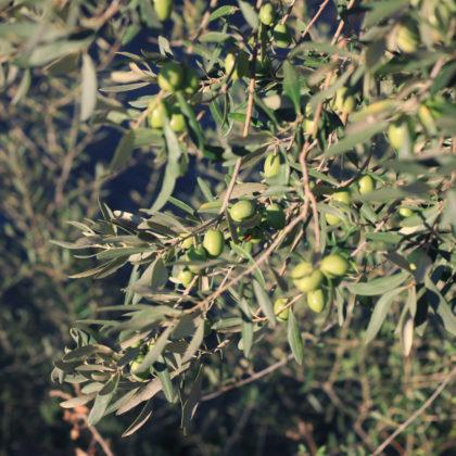 olivenbaum-oliven