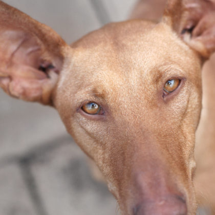 podenco-windhund