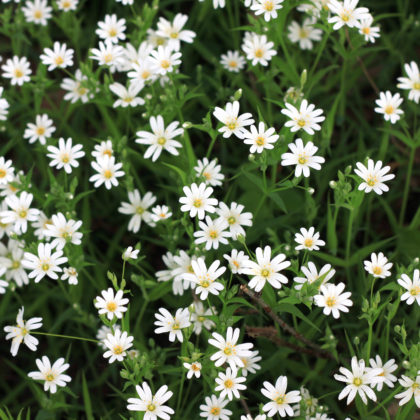 Starwort Blossoms Spring
