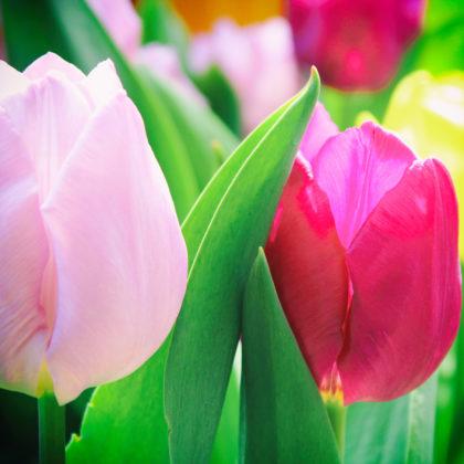 tulpen-blueten