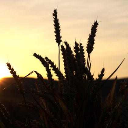 weizenfeld-sonnenuntergang