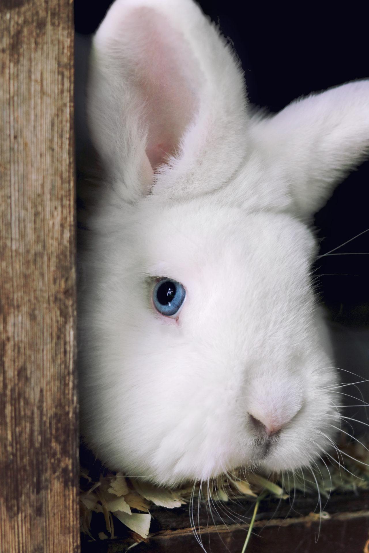 Kaninchen weiß - kostenlose Bilder download | titania foto