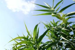 Bambus Himmel
