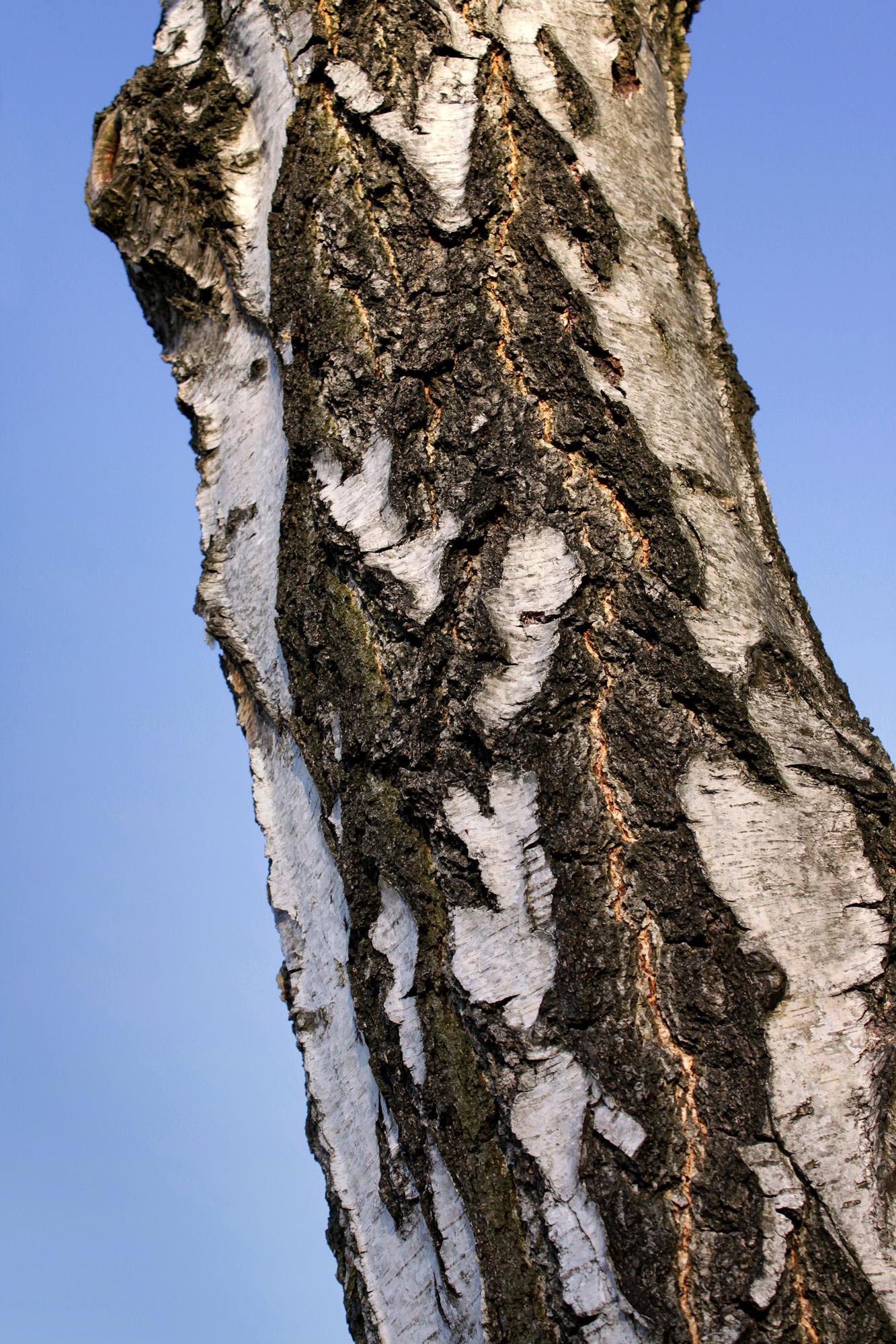 Tree Trunk Birch
