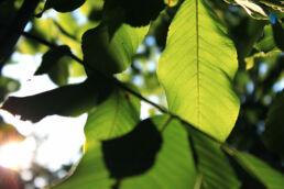 Blätter Licht