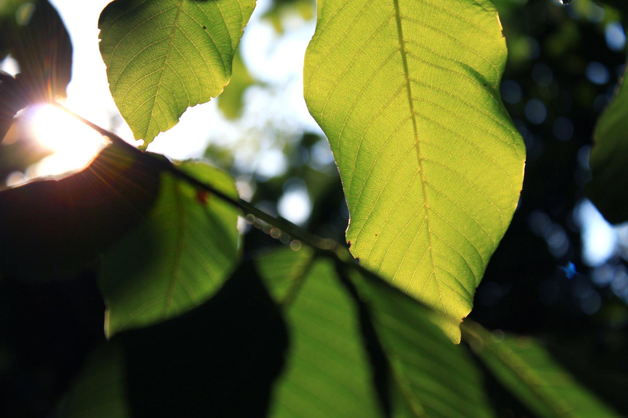 Blätter Sonnenlicht