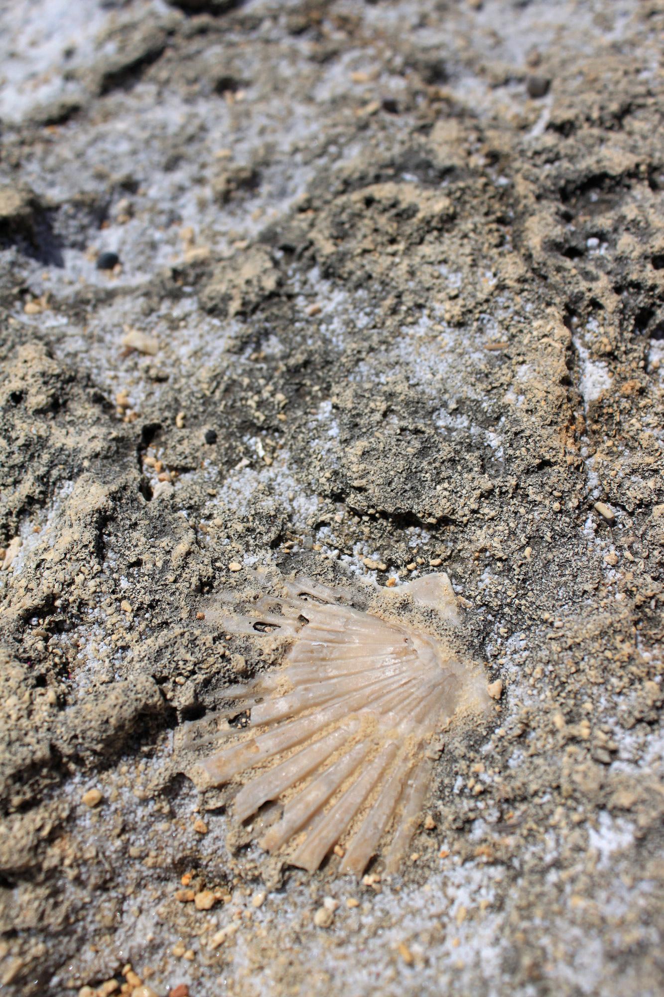 Fossilie Muschel