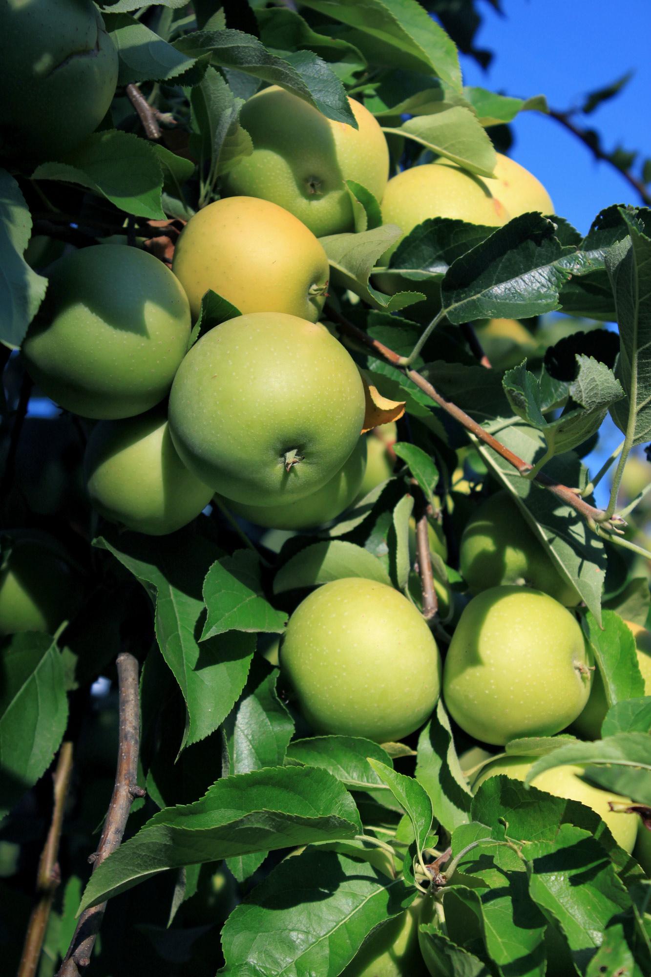 Grüne Äpfel Baum
