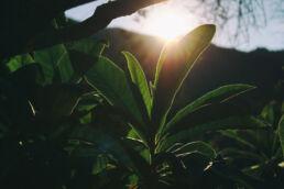 Nespole Blätter Abendsonne