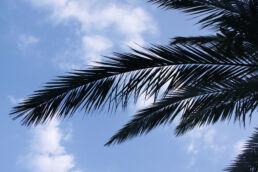 Palmenblatt Silhouette