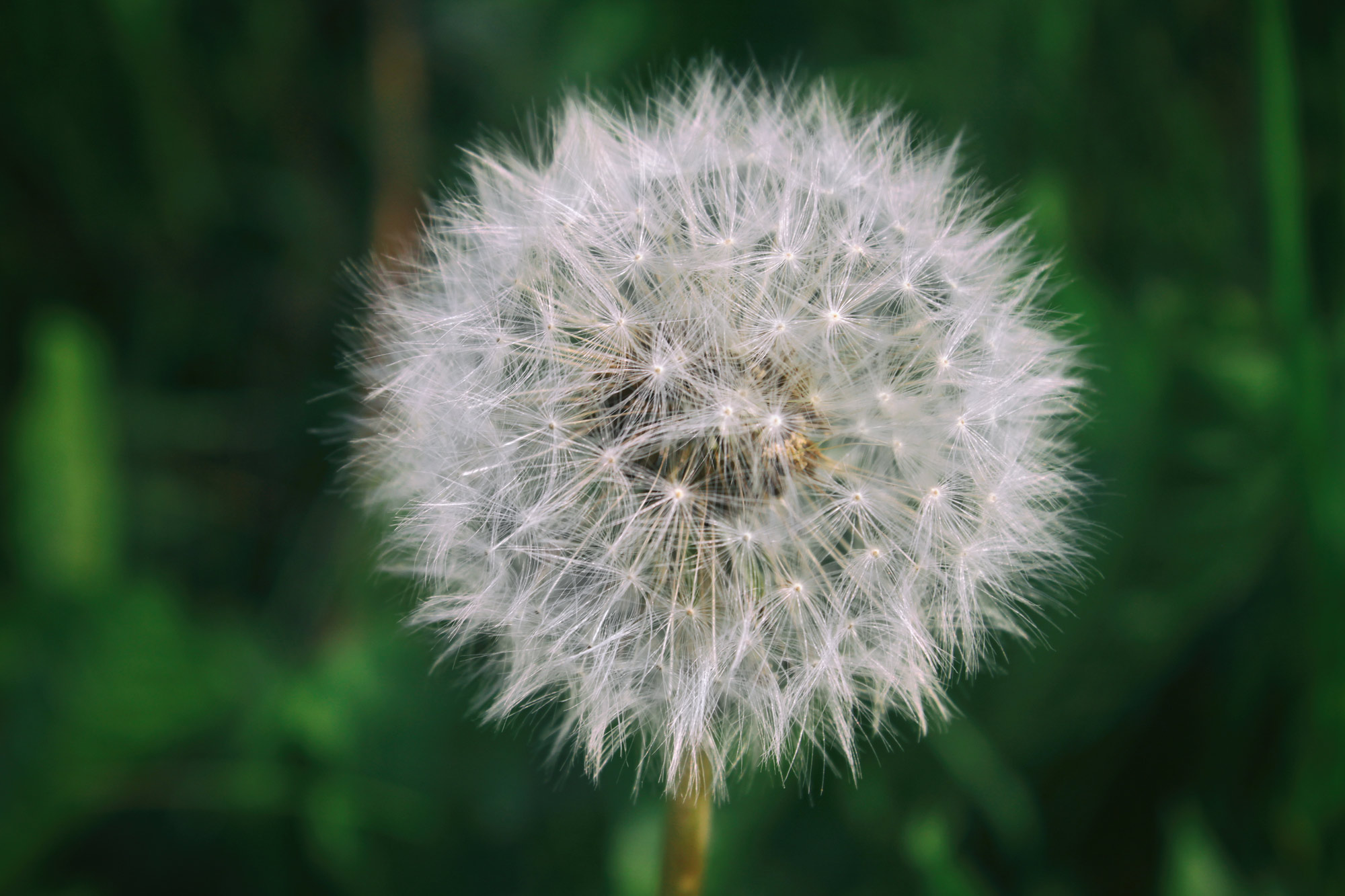 Blowball Dandelion