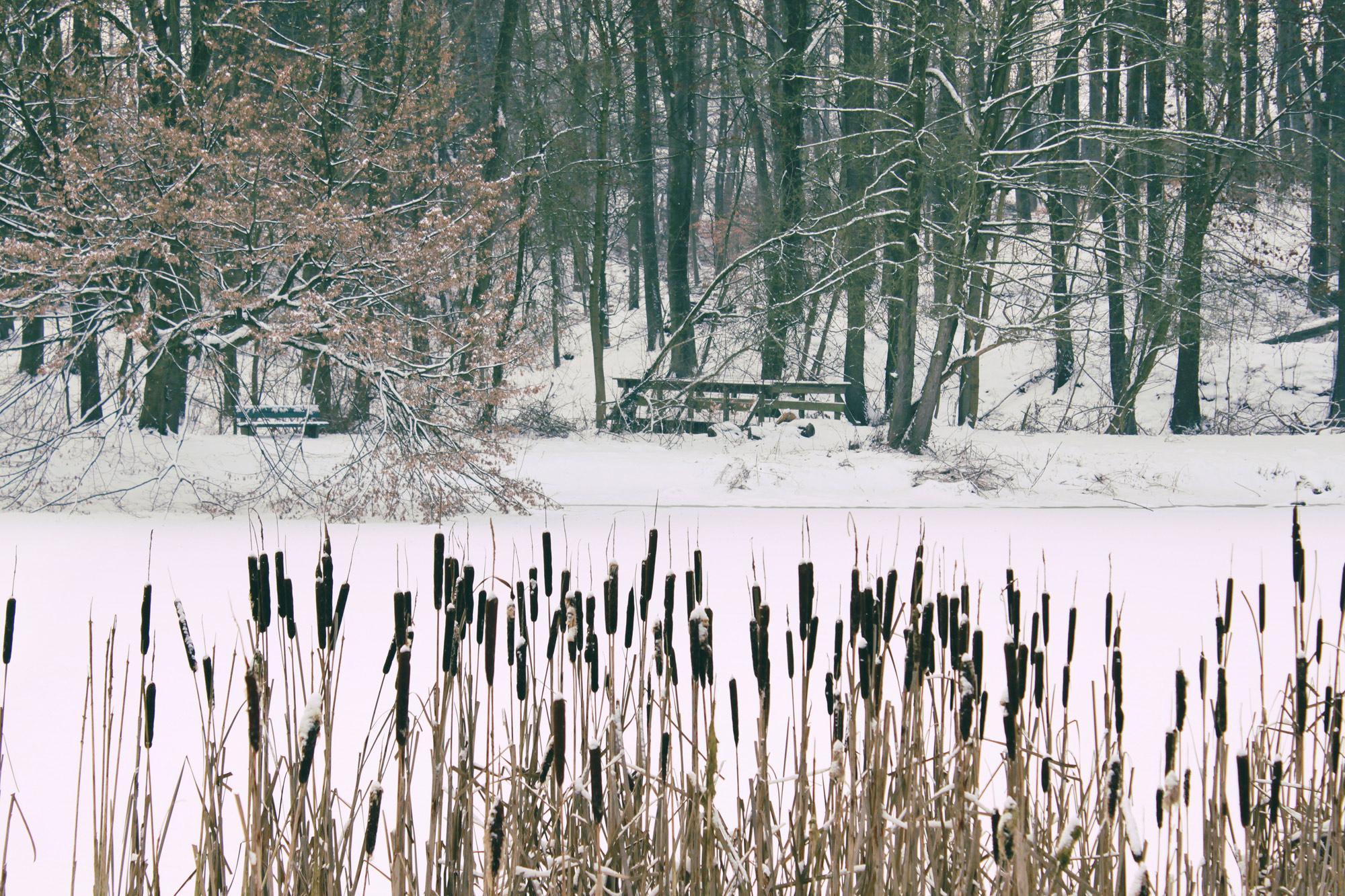 Schilf Winter