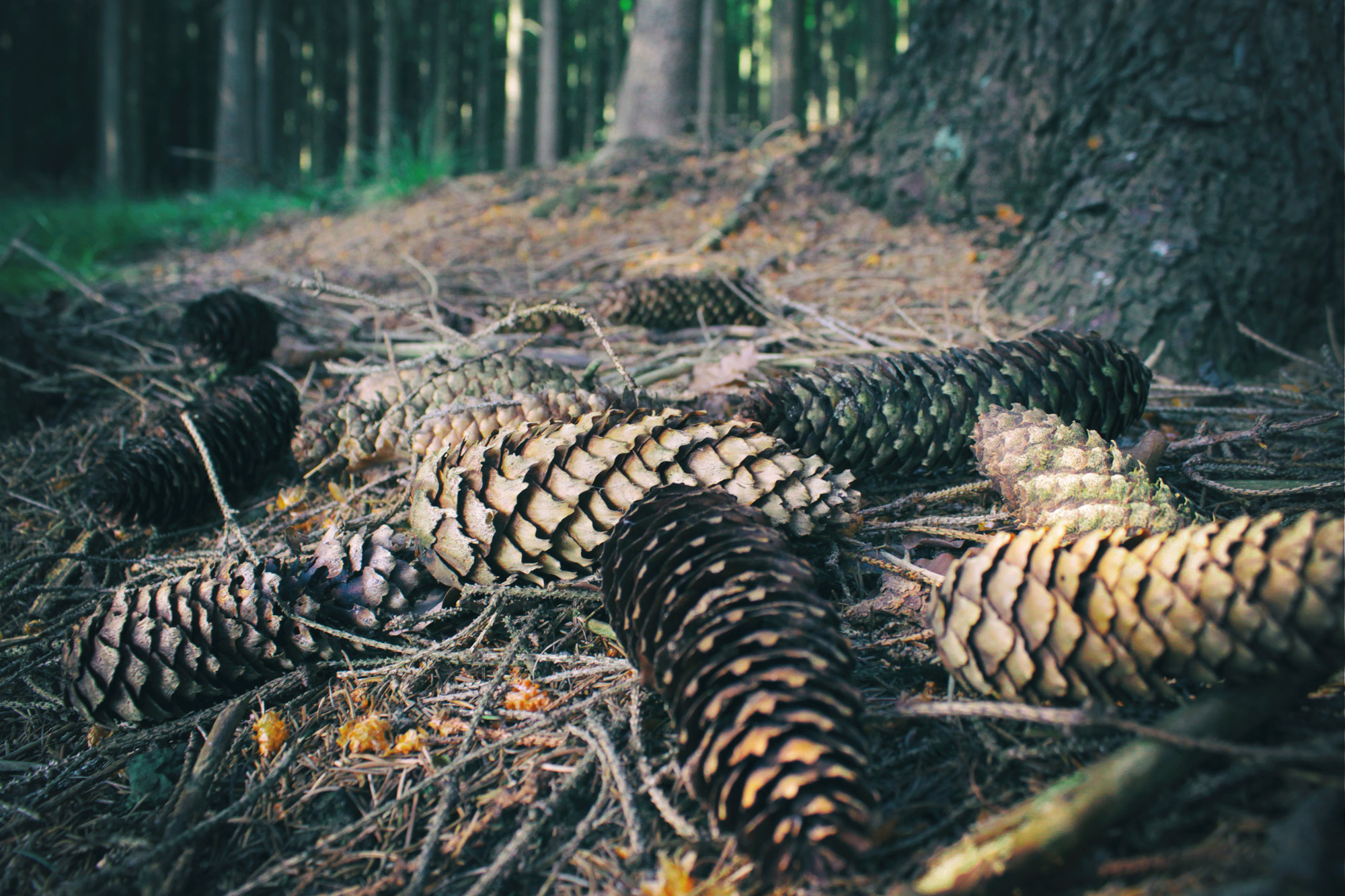 Fir Cones Forest Floor