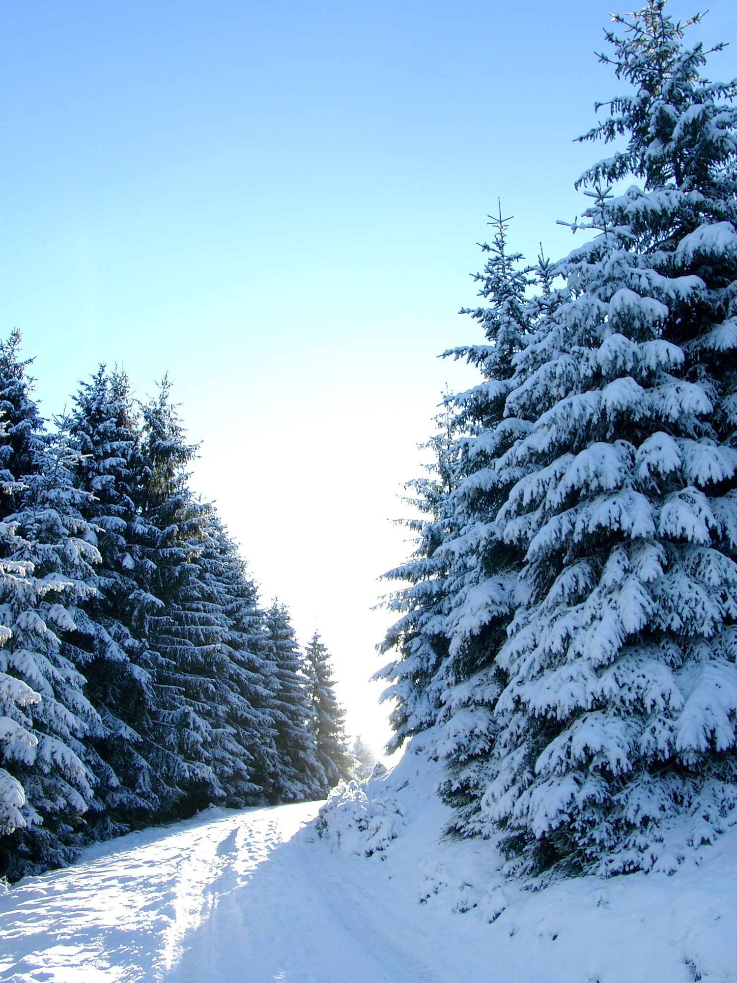 Snow-Covered Fir Trees