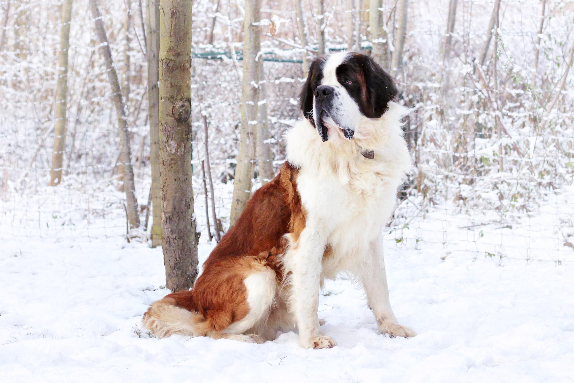 Bernhardiner Schnee