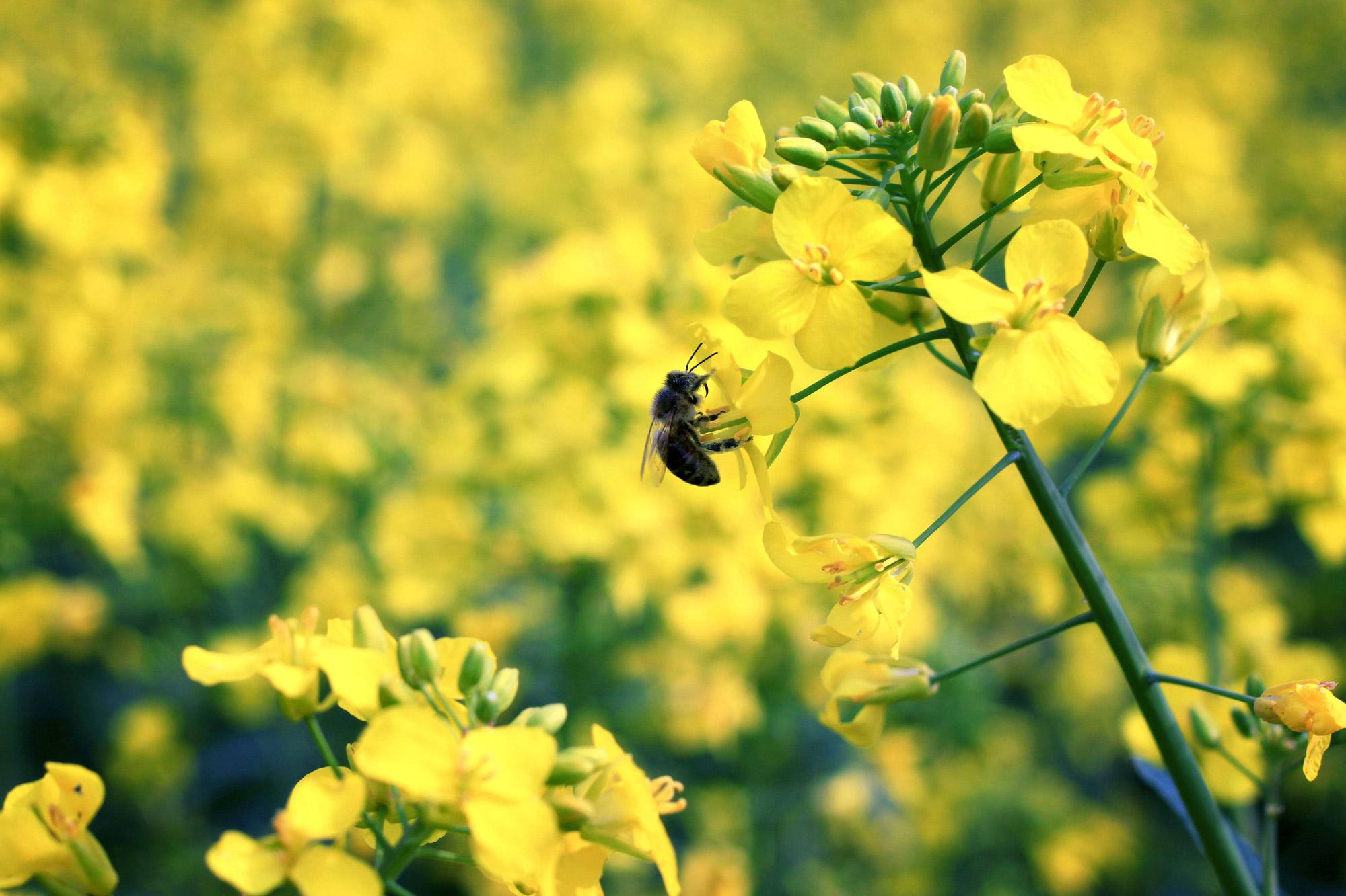 Biene Rapsblüte
