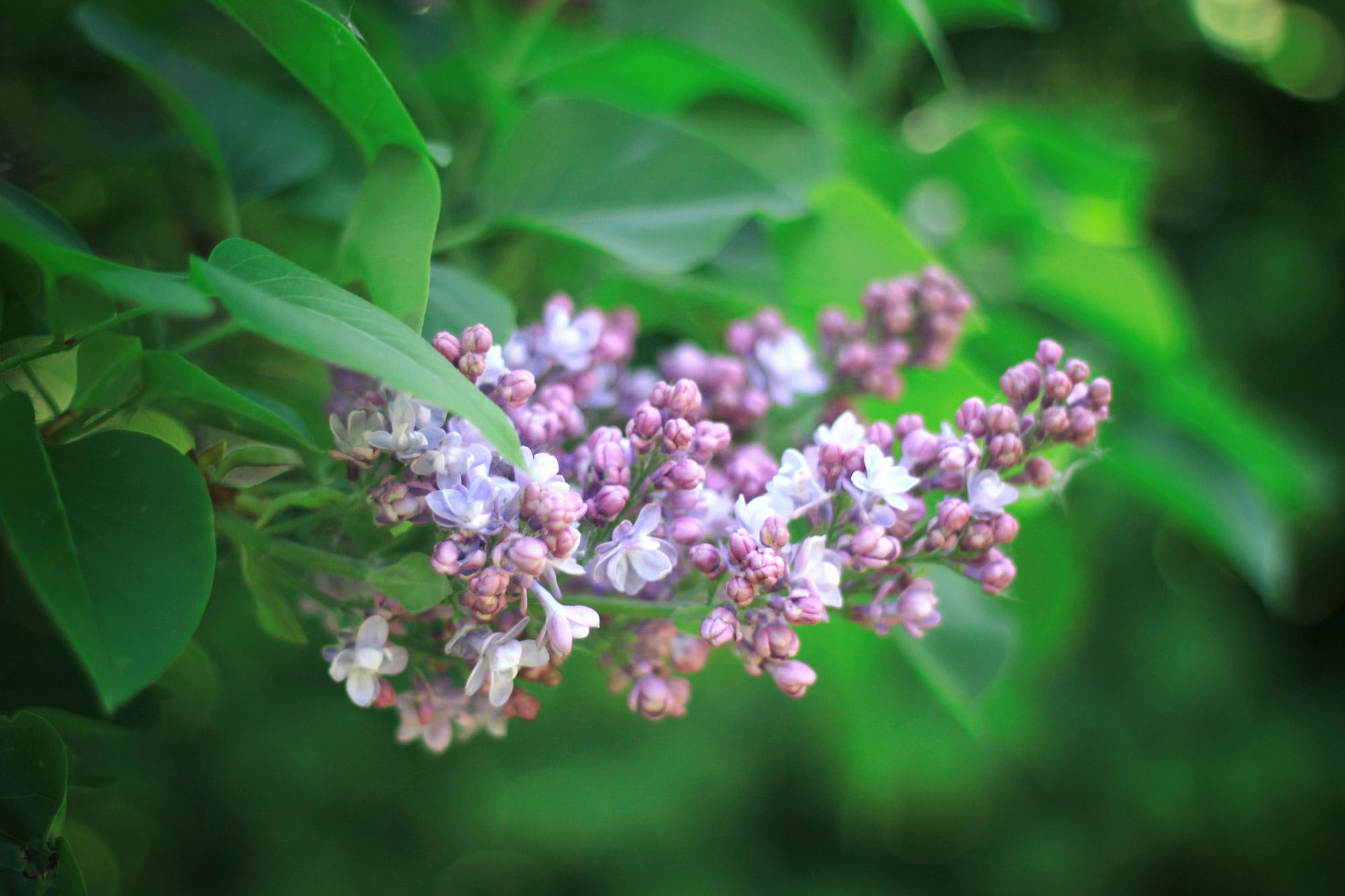 Flieder Blüten