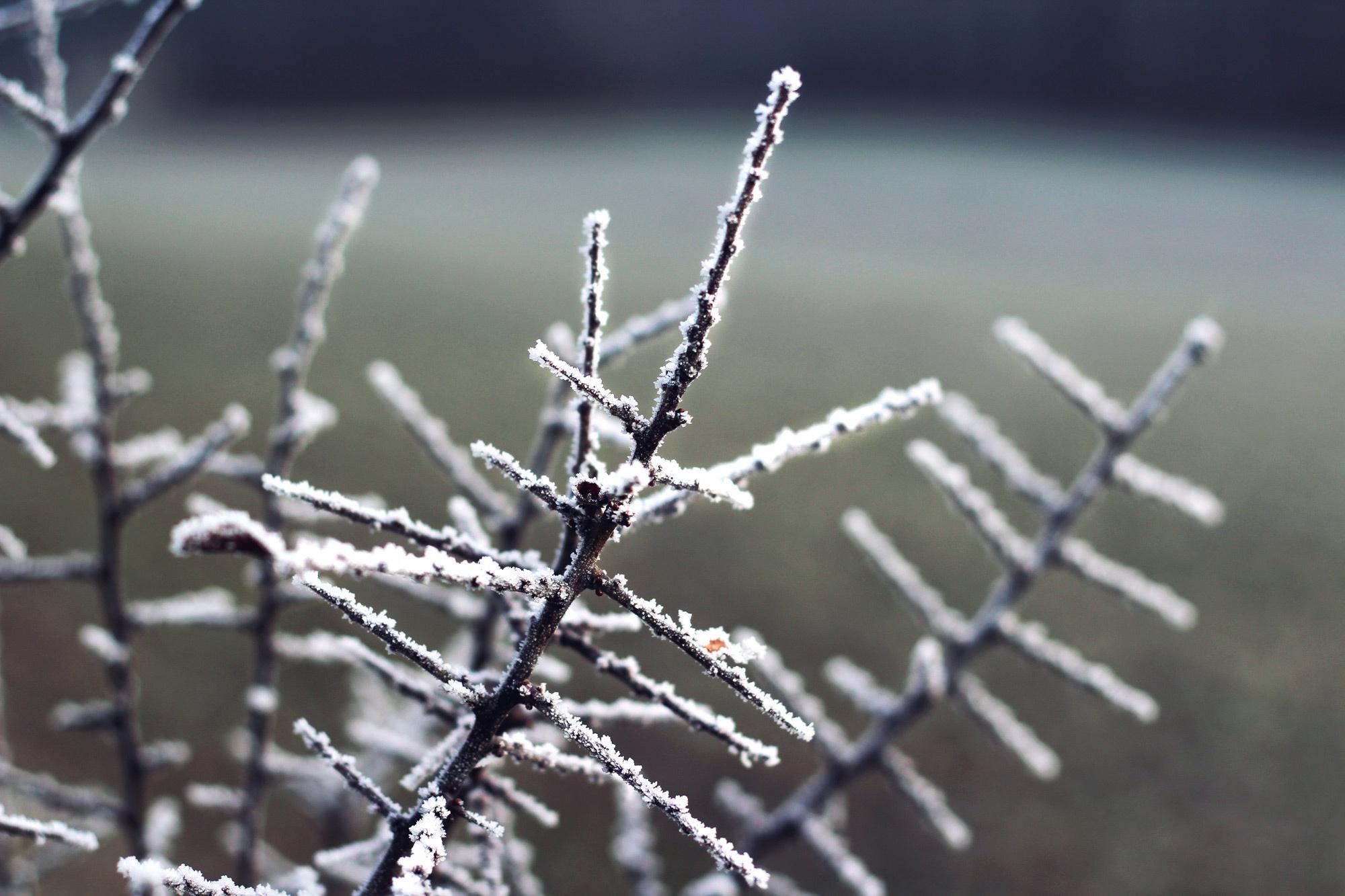 Frost Äste