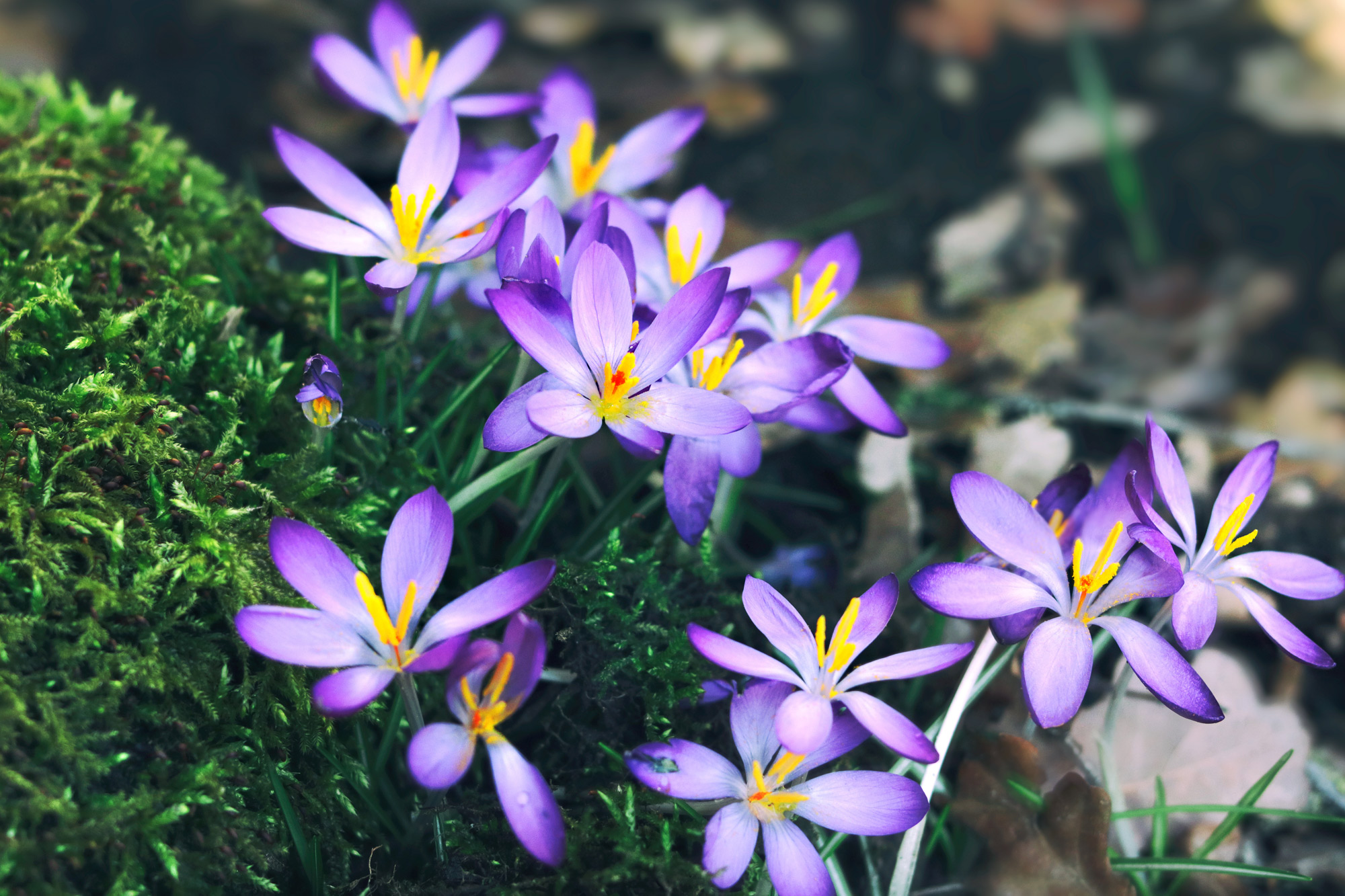 Frühlingsblumen Krokusse