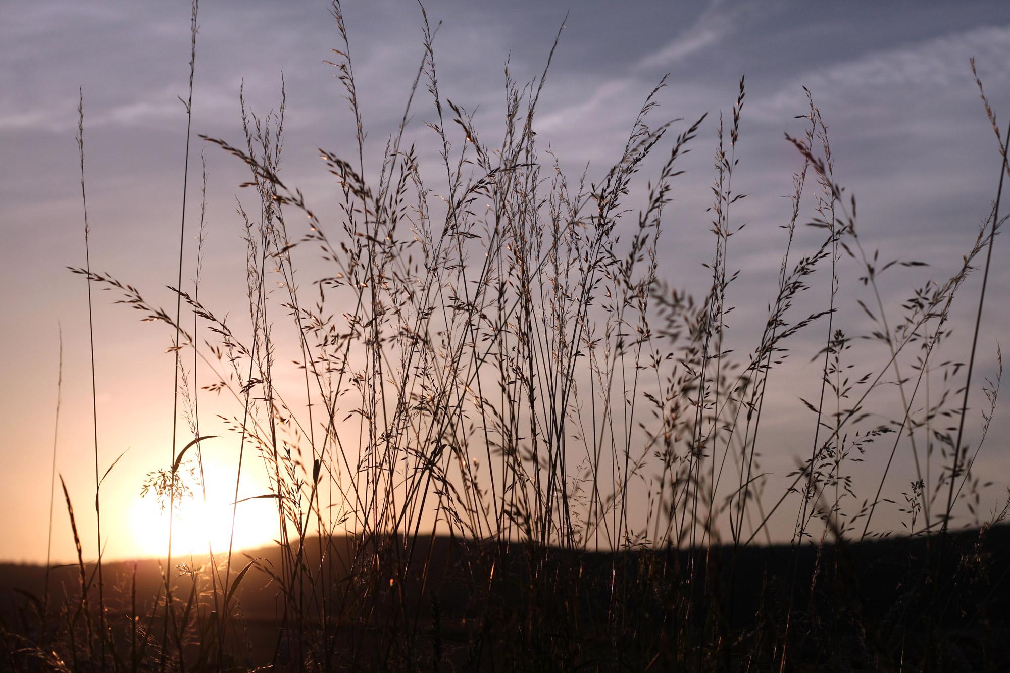 Gräser Sonnenuntergang