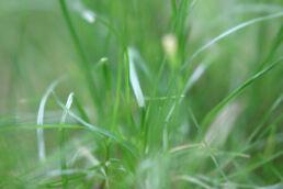 Gras Grashalme