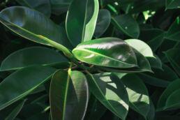 Gummibaum Blätter