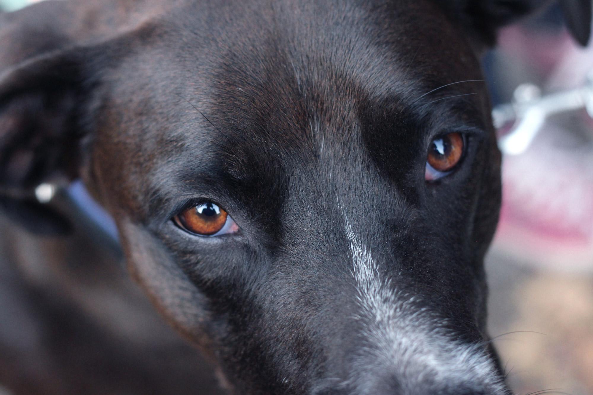 Hundeaugen Hund