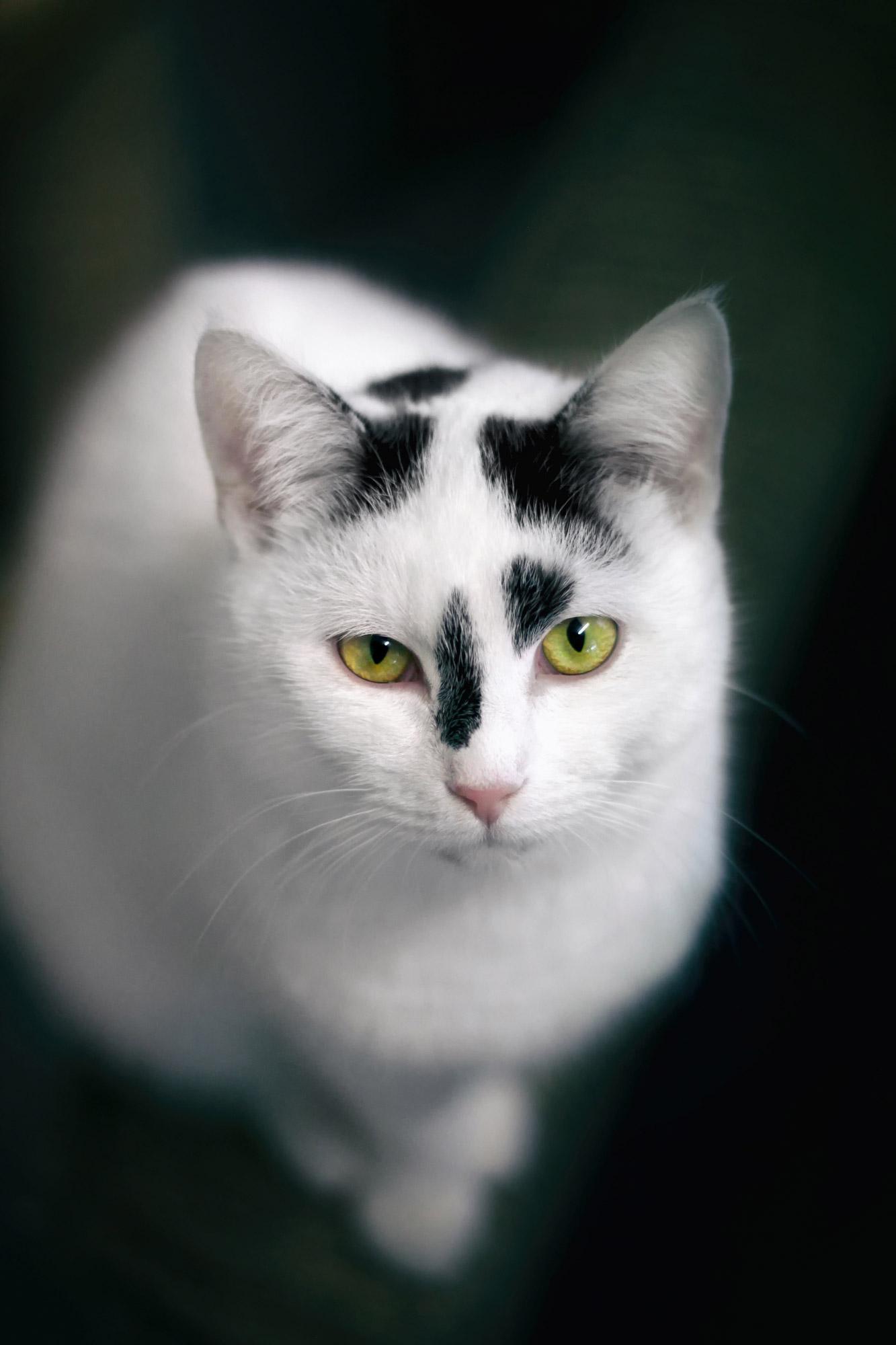 Katze weiß