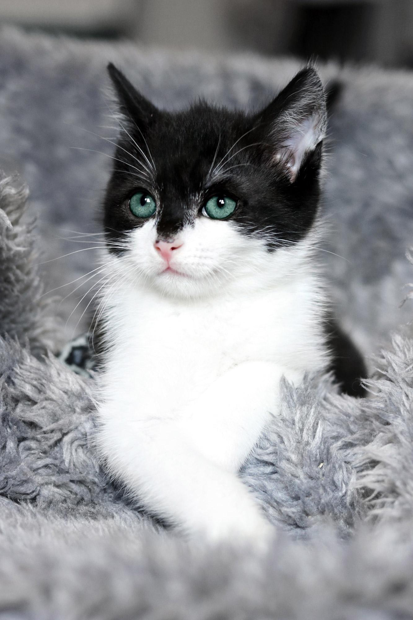 Katzenbaby schwarz weiß