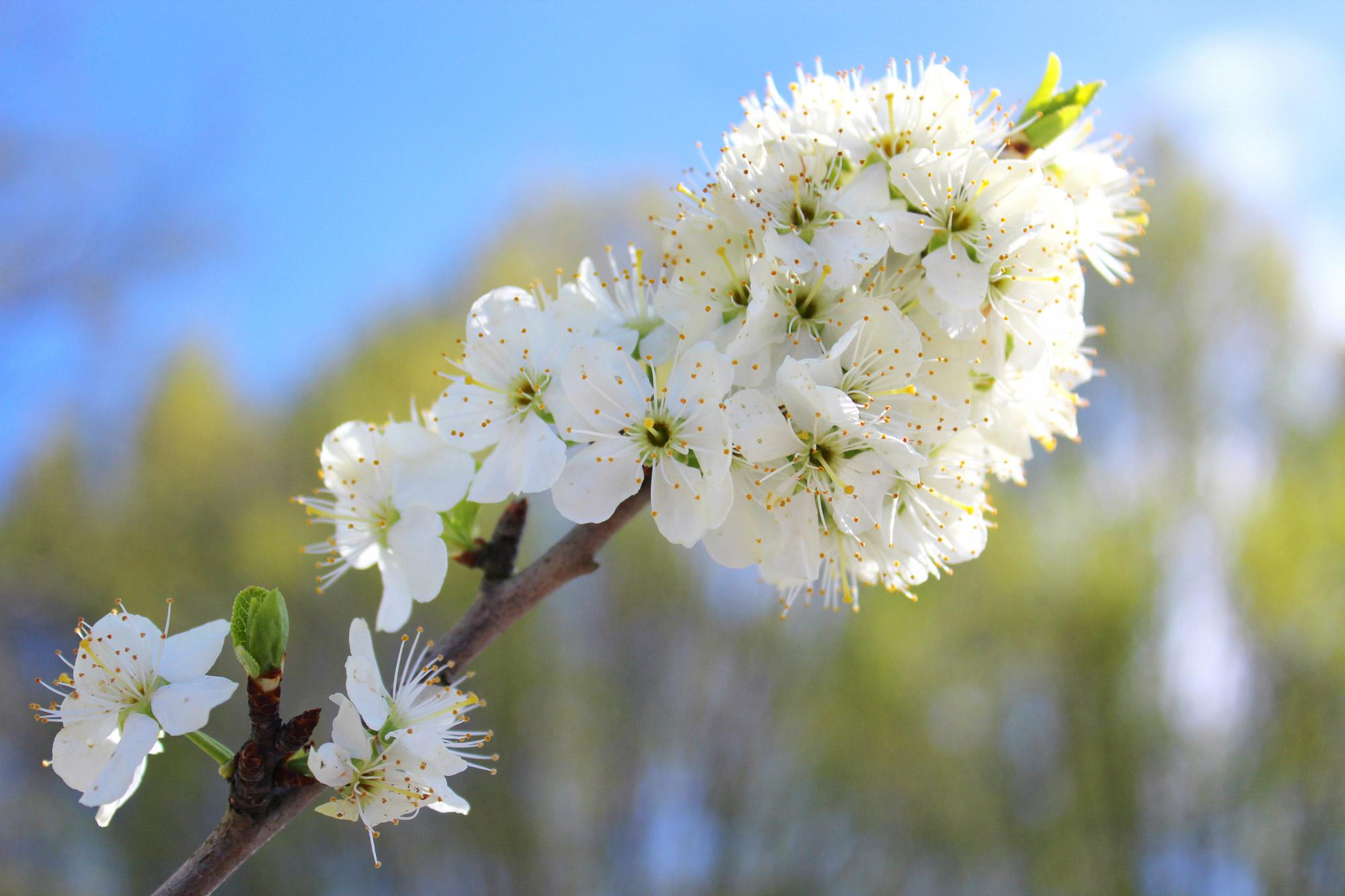 Kirschblüten Ast