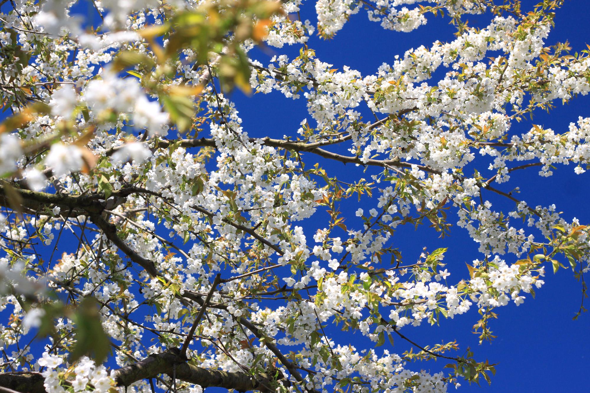 Kirschblüten Kirschbaum