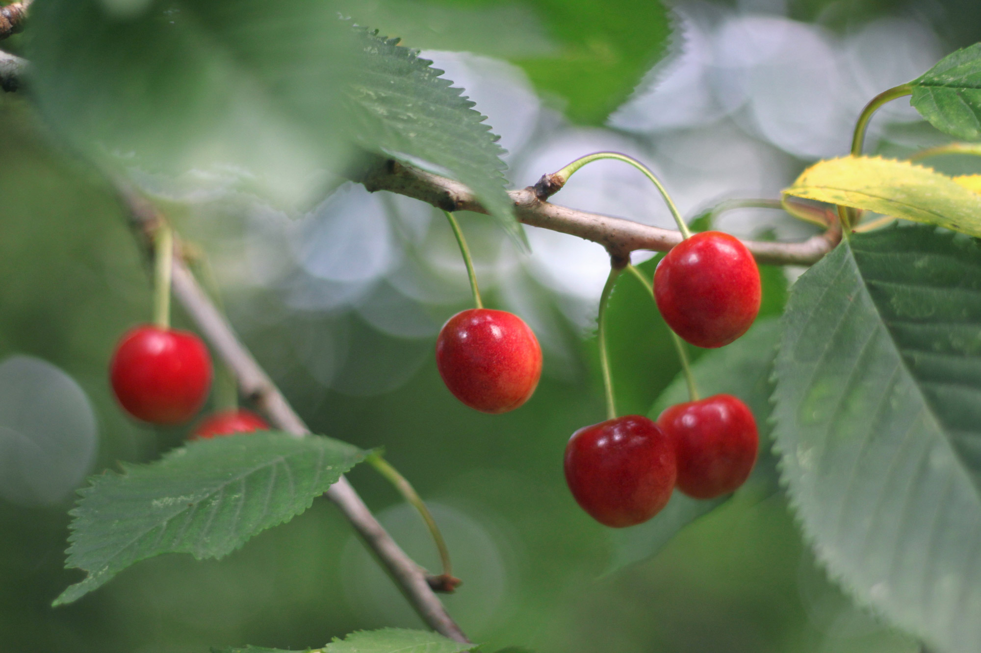 Cherries Tree