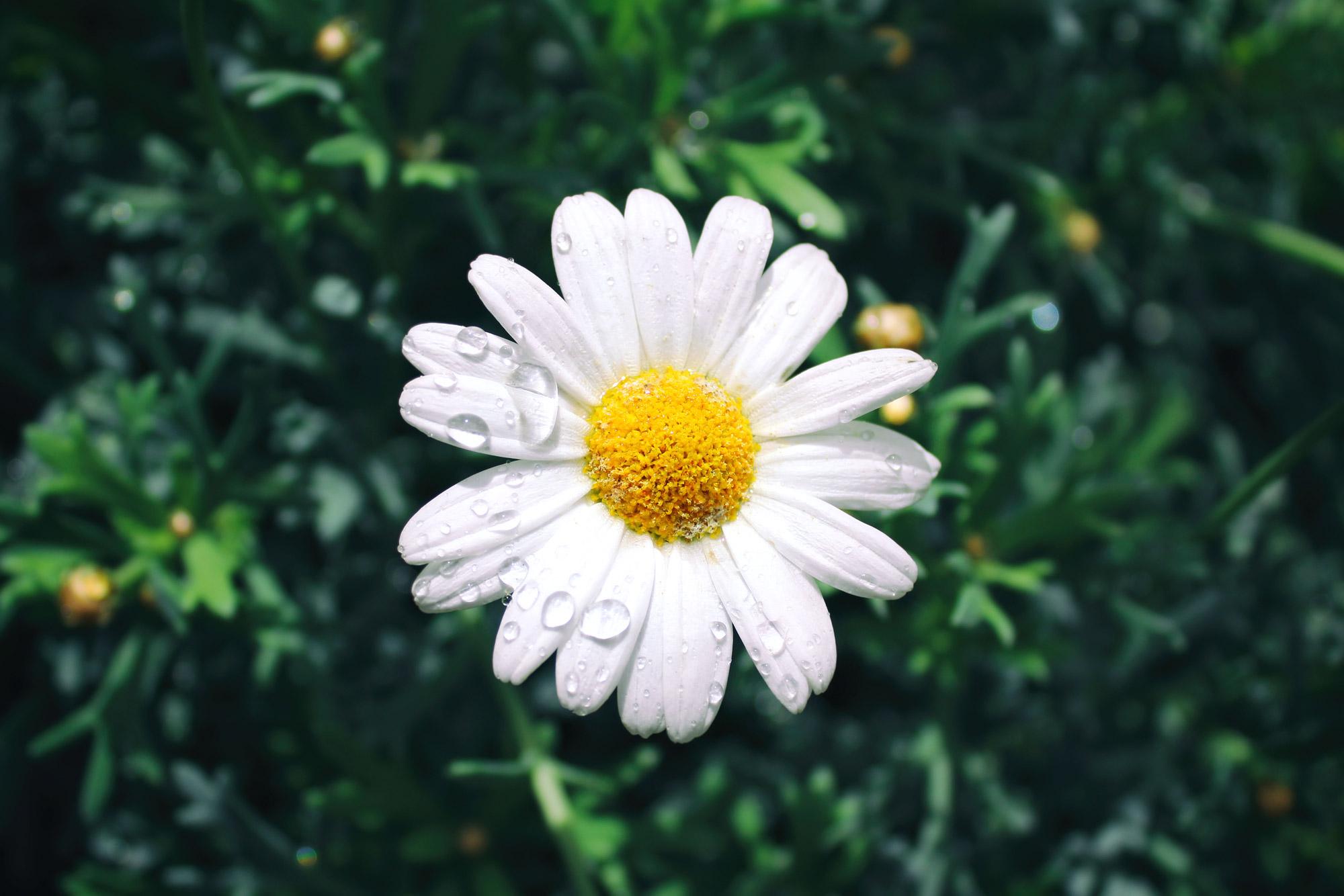 Margerite Blüte