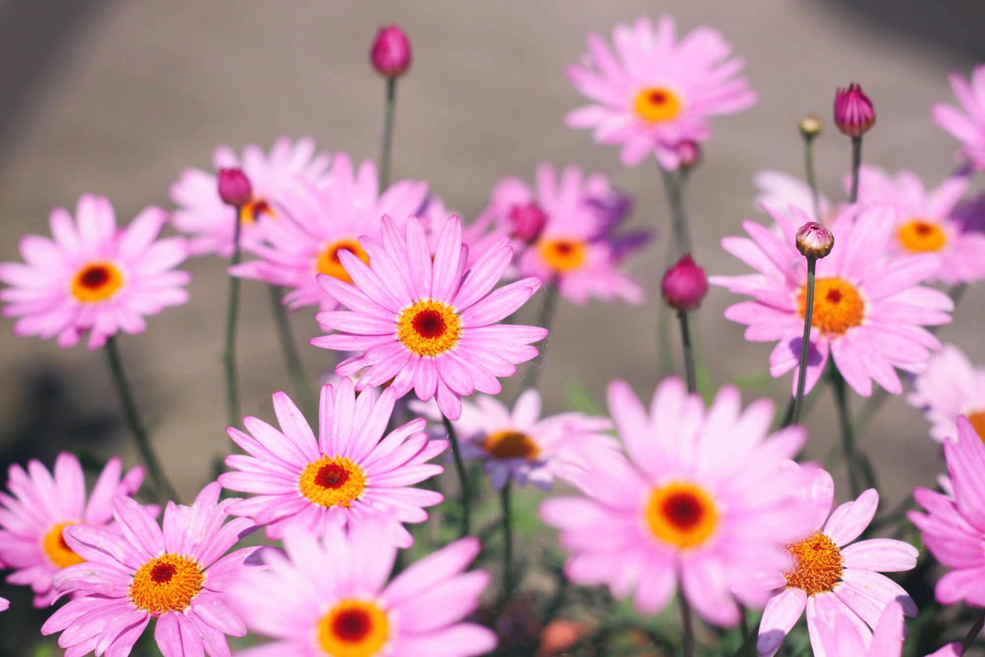Margeriten Blüten rosa