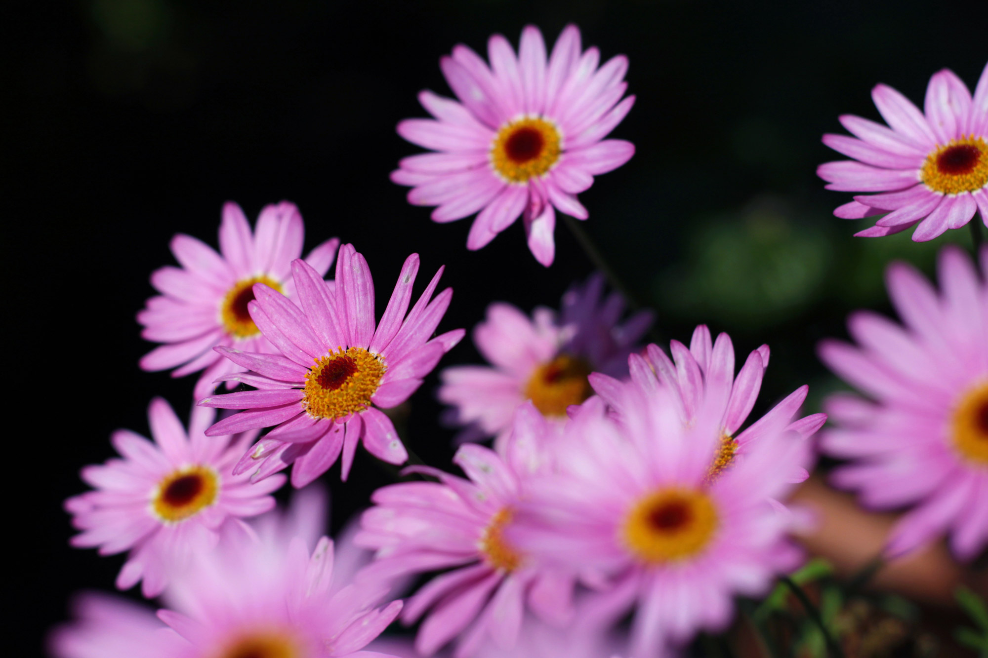 Marguerite Purple