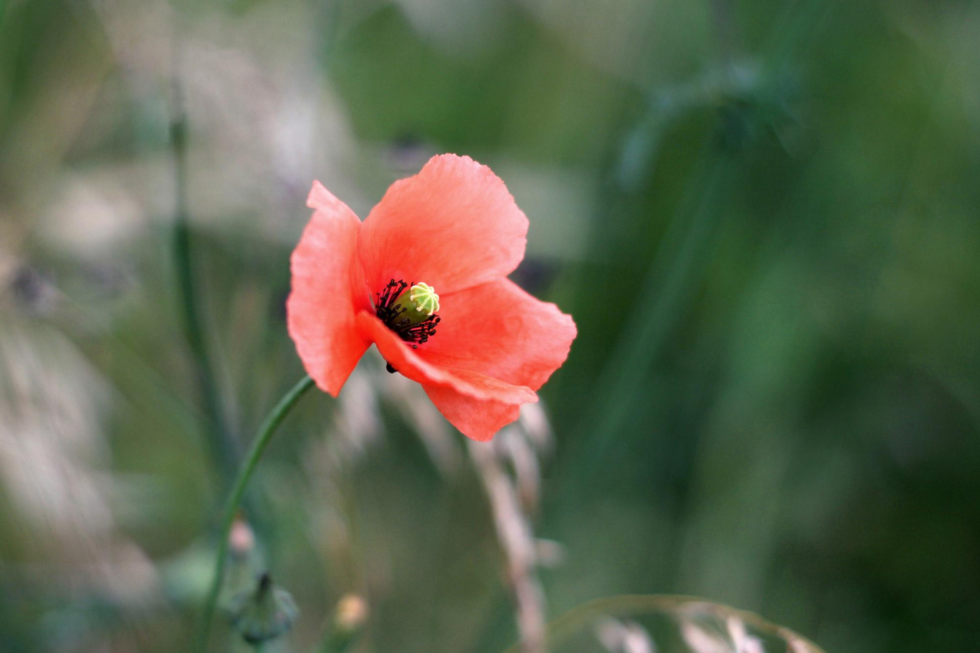 Mohn Blüte