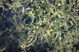 Olivenbaum Oliven