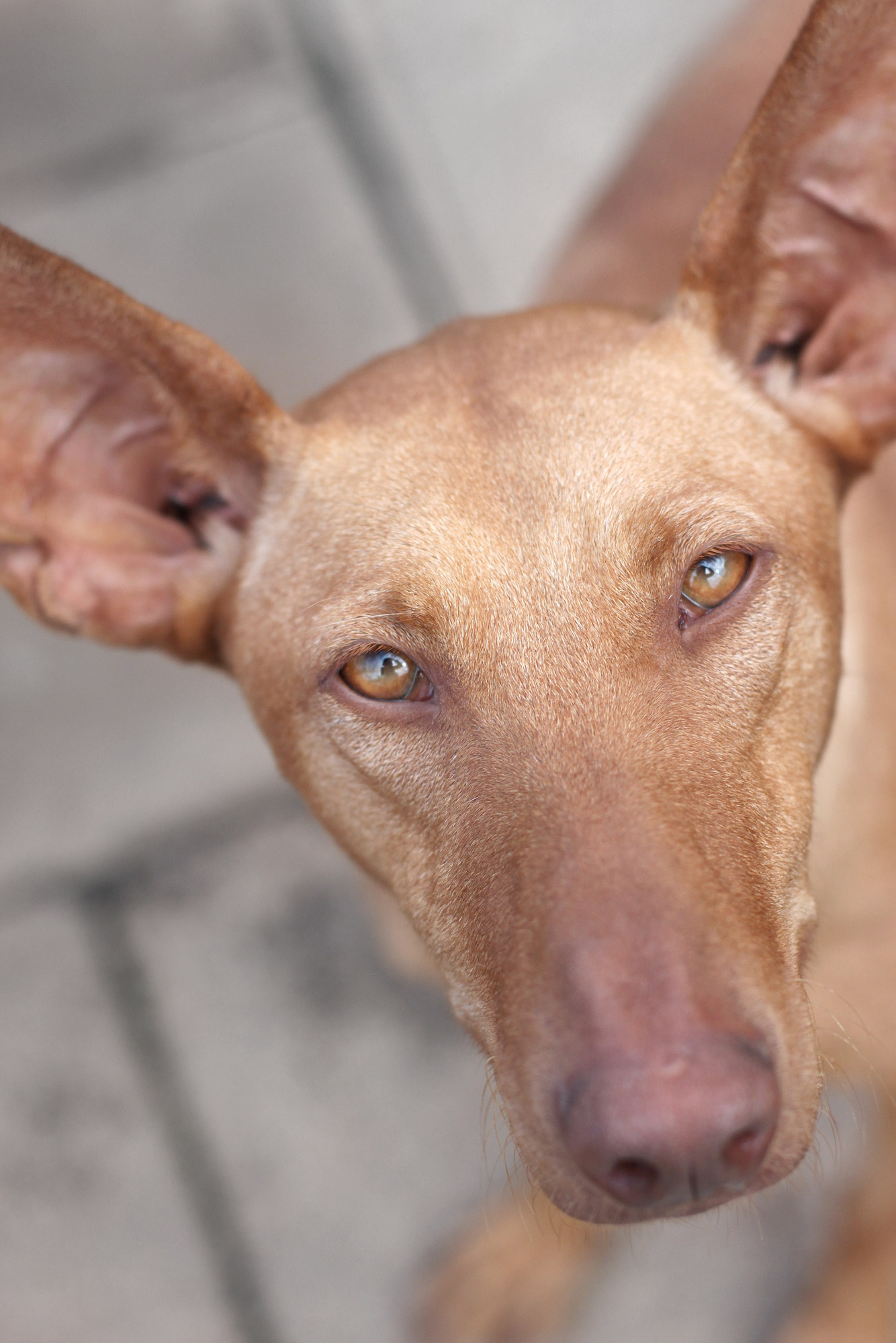 Podenco Sighthound