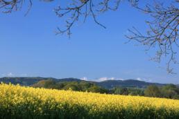 Rapsfeld Wiehengebirge