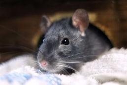 Ratte grau