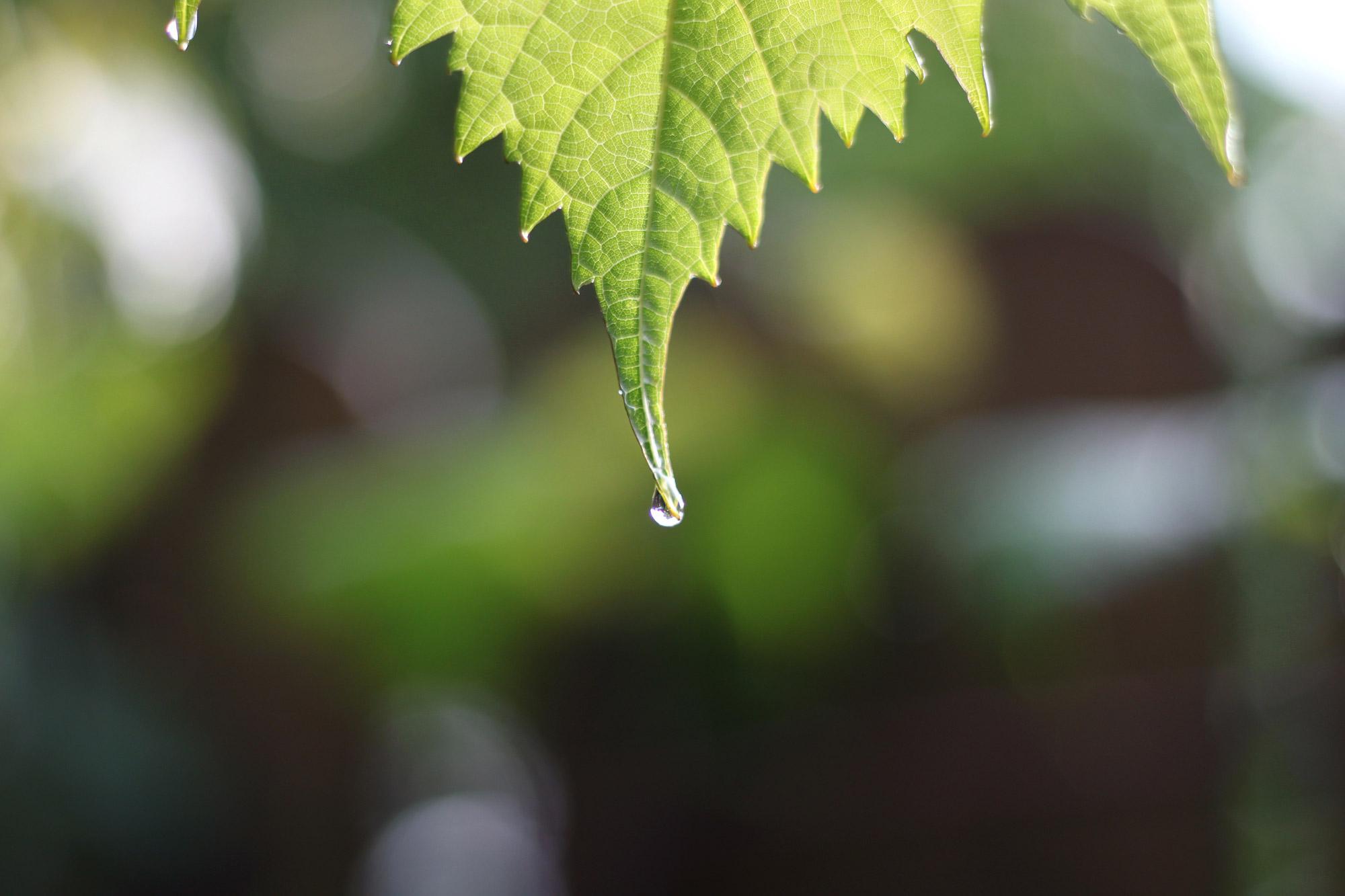 Regentropfen Blatt