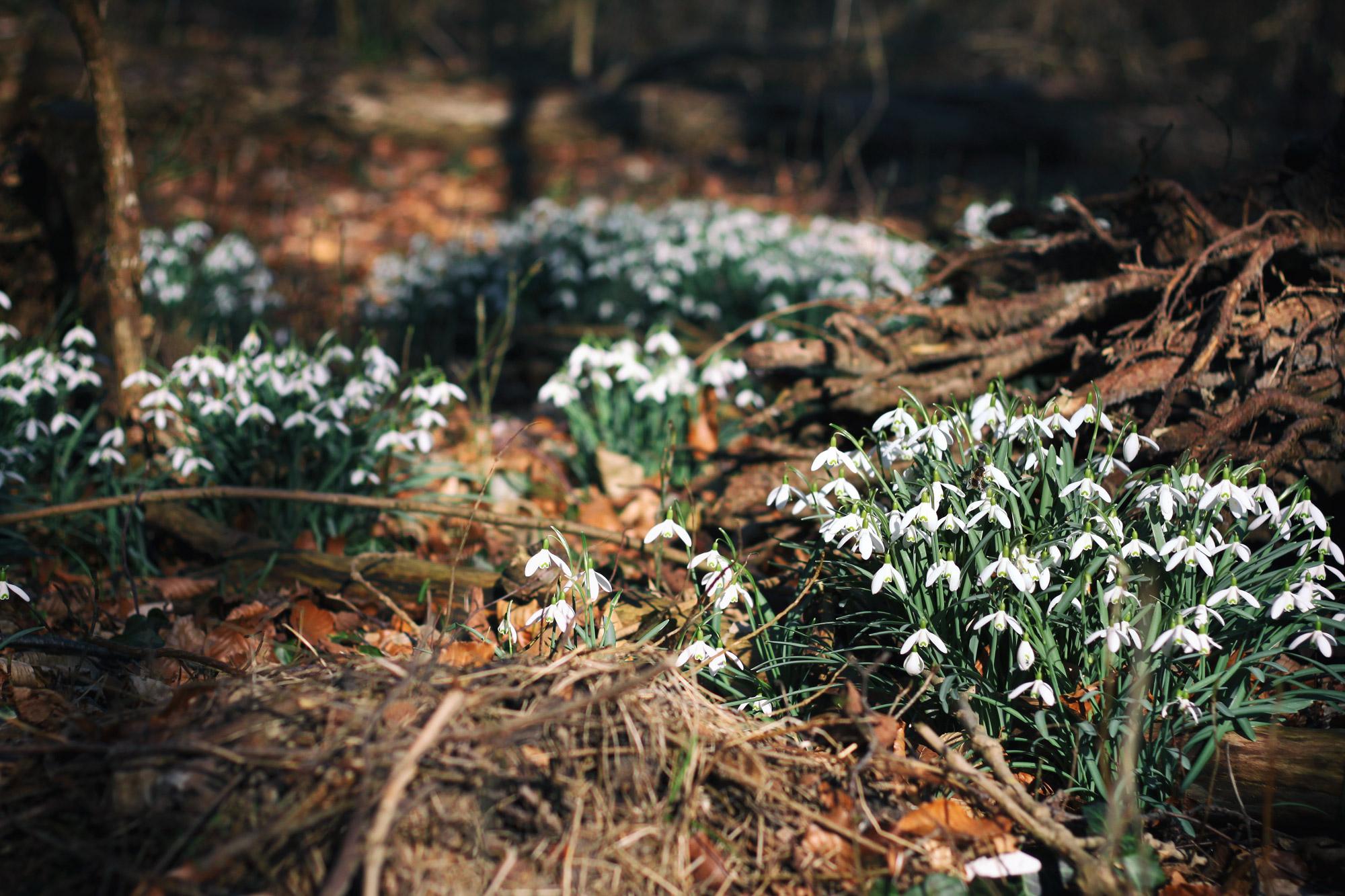 Schneeglöckchen Wald