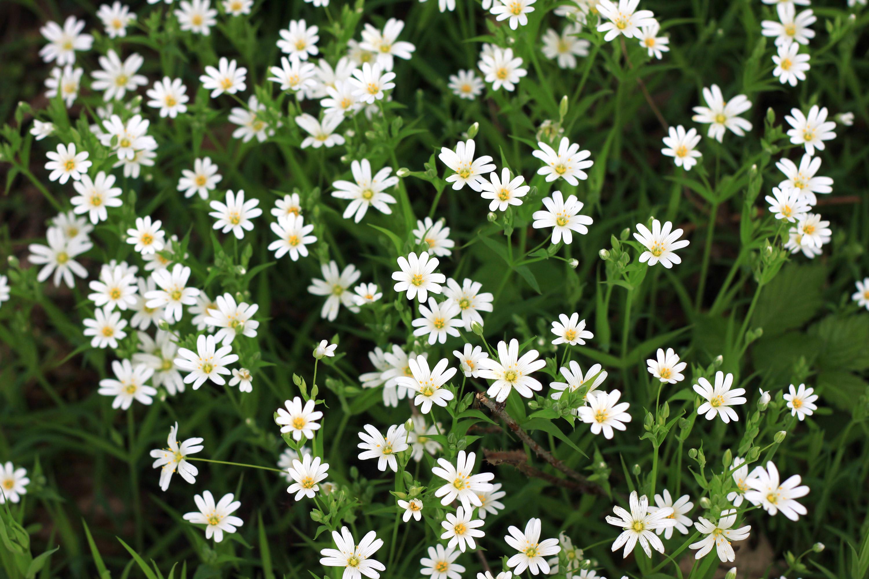 Sternmiere Frühling